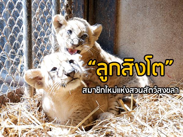 """สมาชิกใหม่! เตรียมเปิดตัว """"ลูกสิงโตน้อย"""" ที่สวนสัตว์สงขลา พร้อมจัดประกวดตั้งชื่อ"""