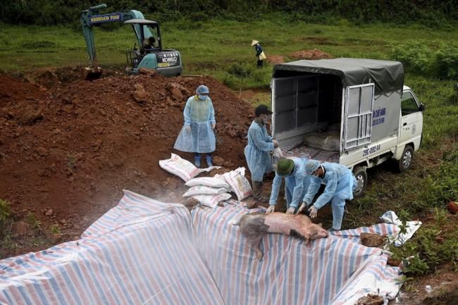 เวียดนามเชือดหมู 4.7 ล้านตัว พบเชื้ออหิวาต์แอฟริกาครบทุกจังหวัด