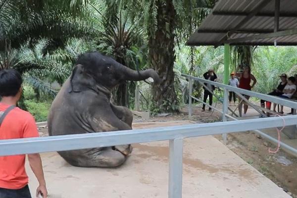 """น่ารัก """"น้องเพชร"""" ช้างน้อยเต้นดิสโก้เพลงปานามา โชว์นักท่องเที่ยว"""
