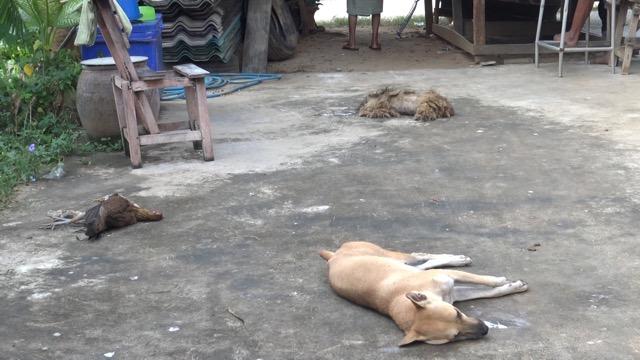 คนร้ายโหด ..เบื่อสุนัขตาย 3 ตัวครอบครัวแม่ไก่อีก 5 ก่อนเข้าไปขโมยถังแก็ส