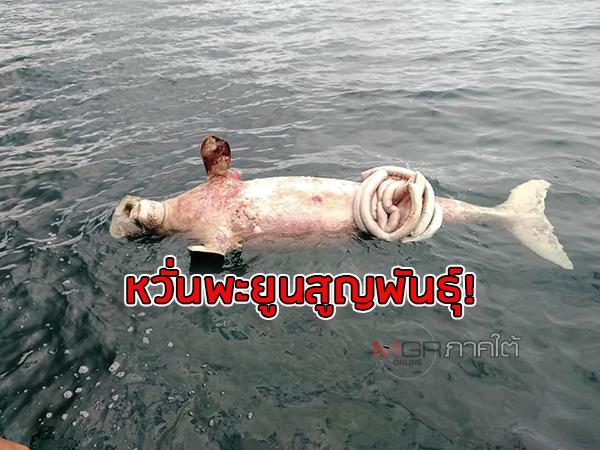 """หวั่น """"พะยูน"""" สูญพันธุ์หลังพบซากตัวที่ 11 ในทะเลตรังเหตุอัตราการตายสูงขึ้นกว่าทุกปี"""