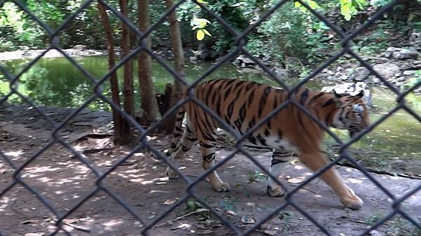 สถานีเพาะเลี้ยงสัตว์ป่าเขาประทับช้าง ปฏิเสธ ให้ข้อมูลเหตุเสือของกลางตาย