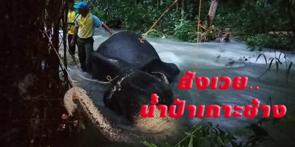 สังเวยน้ำป่า! พบซากช้างเลี้ยงขนาดใหญ่ถูกน้ำป่าพัดจมคลองพลู เกาะช้าง