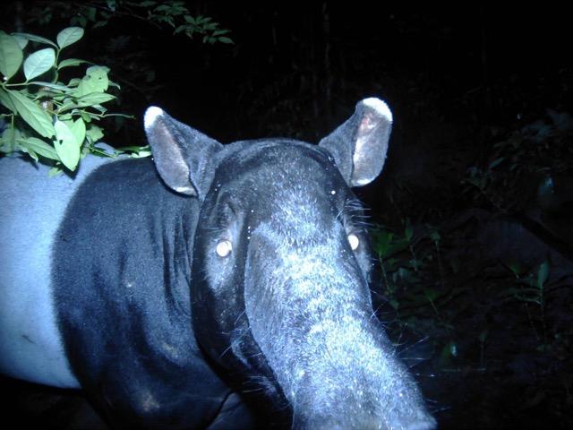 สุดดีใจ!!! อช.ลำคลองงู พบสมเสร็จสัตว์ป่าสงวนกลางป่าลึก ทองผาภูมิ