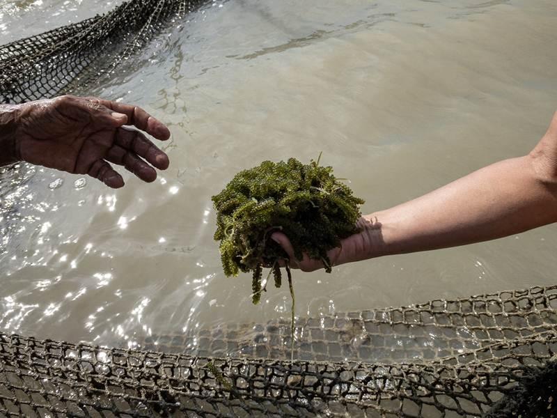 กิจกรรมเก็บสาหร่ายองุ่นทะเล