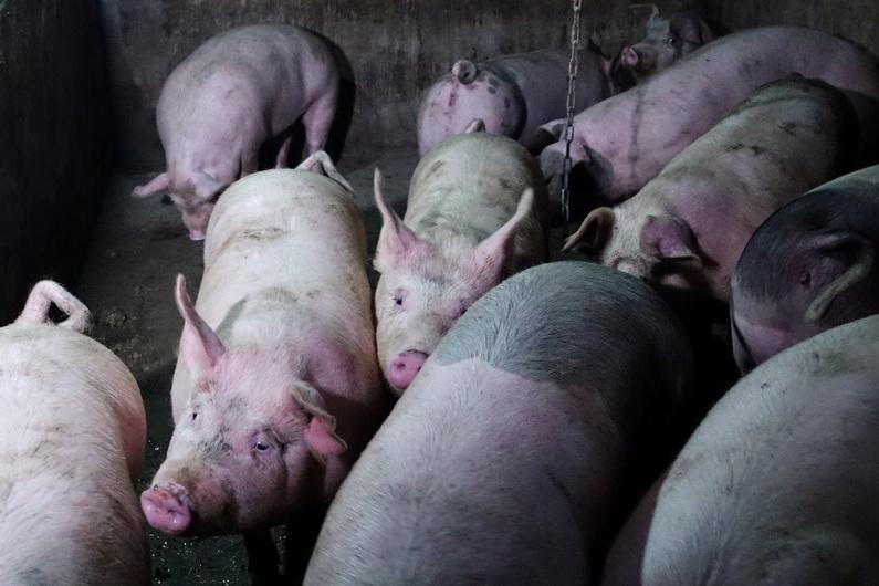 จีนห้ามนำเข้า 'เนื้อหมู' จากเกาหลีใต้ หลังพบไข้หวัดหมูแอฟริการะบาด