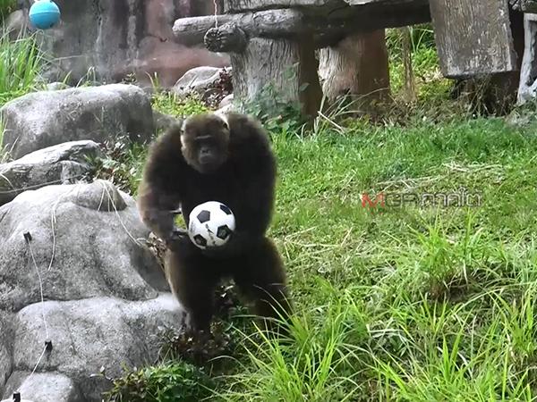 """สอน """"เจ้าจ้อน"""" ลิงจอมซนแห่งสวนสัตว์สงขลา เล่นฟุตบอลปรับเปลี่ยนพฤติกรรม"""
