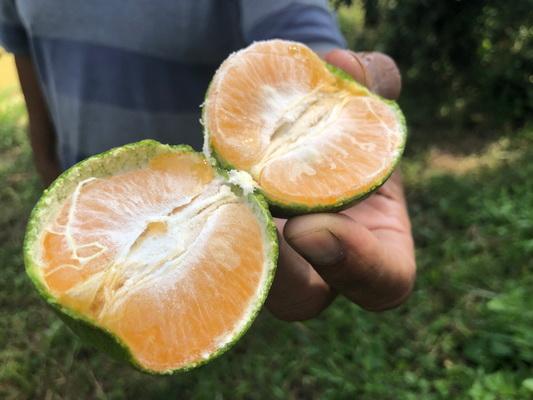 สวนส้มศรีเชียงใหม่ พร้อมเปิดให้ชมชิมต้นตุลาคมนี้