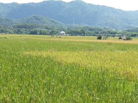 คอนแทรคฟาร์มมิ่งข้าวญี่ปุ่นโตตามลองสเตย์ 3 จว.เหนือปลูกแล้ว 3 หมื่นไร่ ขายทั้งใน-ตปท.