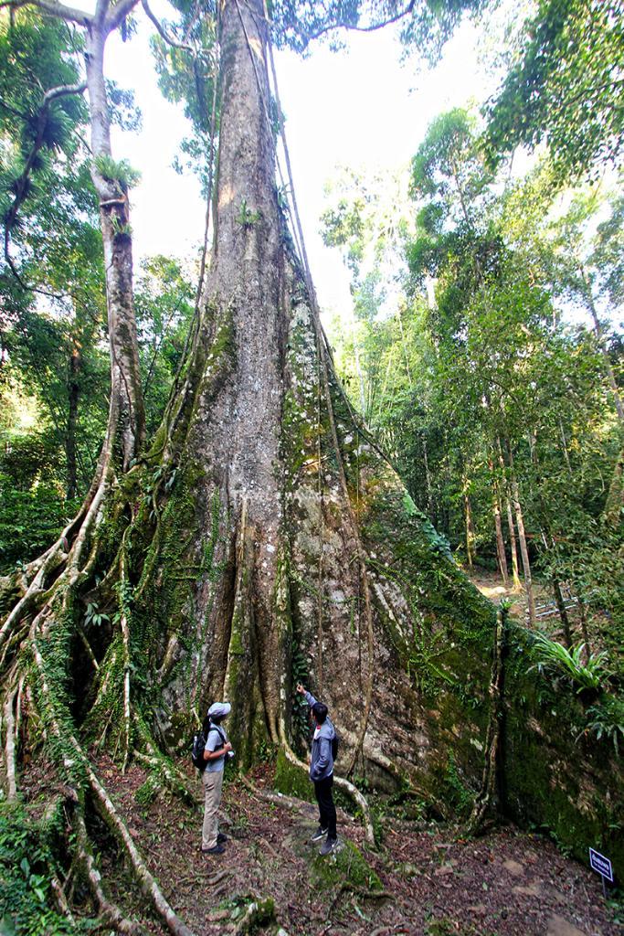 ต้นสมพงยักษ์ 38 คนโอบ