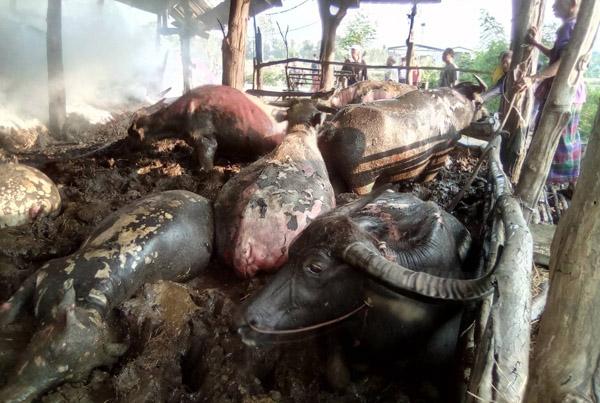สุดเวทนา! คุณตาเมืองช้างจุดฟางไล่ยุงลามเผาคอกควายตาย 3 ตัว บาดเจ็บแสนทรมาน 12 ตัว