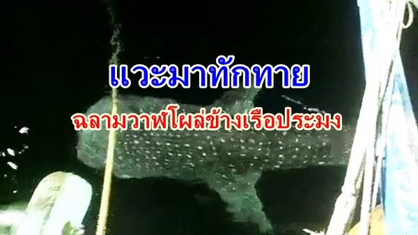 ฮือฮา ! ประมงชายฝั่งชุมพรพบฉลามวาฬว่ายน้ำอวดโฉม 3 คืน ระบุไม่มาตัวเดียวหลังเพื่อนเจอด้วย