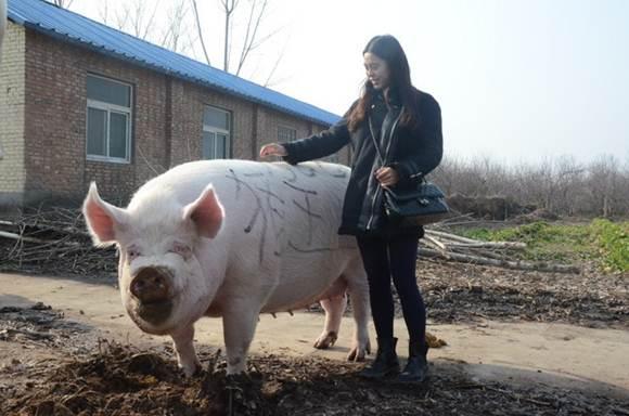 เกษตรกรจีนขุนหมูไซส์หมีขั้วโลก สู้ราคาเนื้อหมู