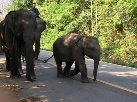 เดินตามขบวนช้าง ช้างตัวเล็กด้านหน้าชื่อว่า บุทู ตัวผู้ อายุหนึ่งขวบสองเดือน ช้างน้อยจอมซนขวัญใจของทุกคนที่นี่