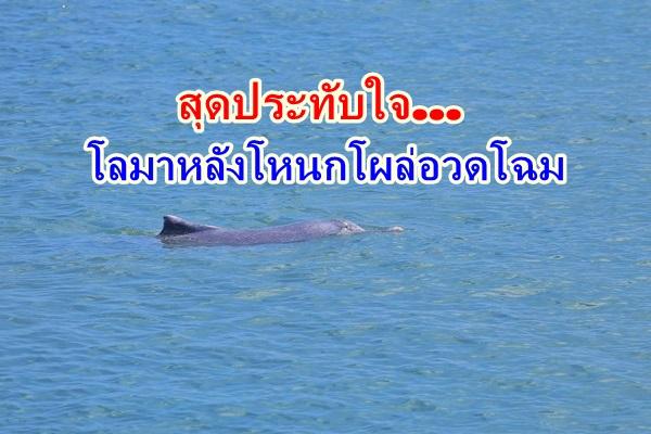 สุดประทับใจ ! ฝูงโลมาหลังโหนกกว่า 10 ตัว เล่นน้ำอวดโฉม ที่ท่าเรือดอนสัก
