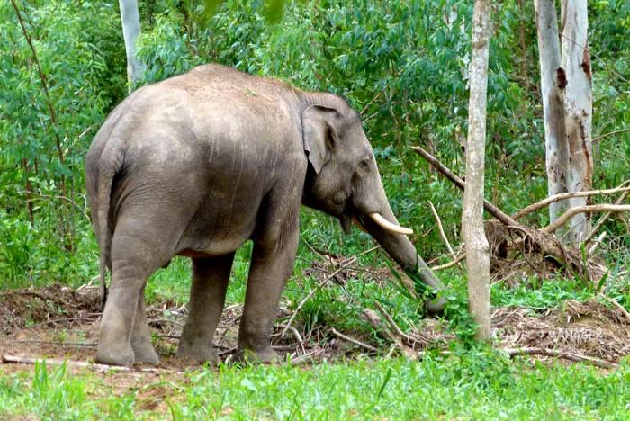 กุยบุรีโมเดลช่วยฟื้นฟูป่ากลับมา ทำให้ช้างป่าไม่ต้องลงไปกินพืชไร่ของชาวบ้าน