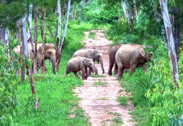 ช้างป่ากุยบุรีออกหากินยามเย็น