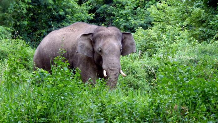 กุยบุรีโมเดลช่วยฟื้นฟูป่ากลับมา และเพิ่มจำนวนประชากรช้างป่าให้มีมากขึ้น