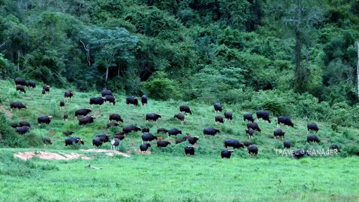 กระทิงฝูงใหญ่ในป่ากุยบุรี