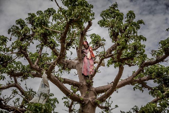 เด็กสาวคนหนึ่งกำลังปีนต้นเบาบับในขณะที่กำลังเก็บใบเบาบับเอาไปประกอบอาหารในหมู่บ้านมาลามาวา ซินเดอร์รีเจียน ของไนเจอร์