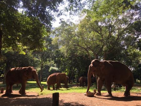 เหล่าช้างชราและช้างพิการได้รับการดูแลที่ดีที่ศูนย์บริบาลช้างปางหละ ลำปาง