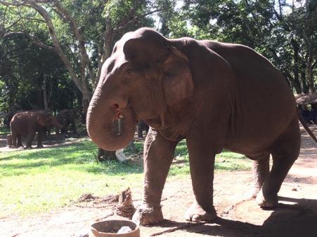 พลายเป๋ ช้างชราอายุกว่า 70 ปี ขาหัก หลังหัก งาหลุด แต่ใช้ชีวิตอย่างมีความสุขที่บ้านพักช้างชราแห่งนี้