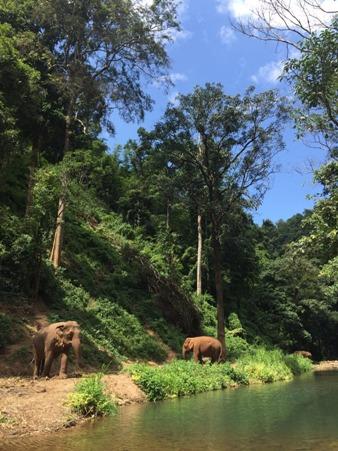 ช้างบางเชือกที่ดุมากและมีประวัติโหดร้ายที่มีผู้นำมาบริจาคเพราะไม่สามารถเลี้ยงเองได้ จะถูกนำแยกไปกระจายผูกตามที่ต่างๆ ในป่าริมลำธาร