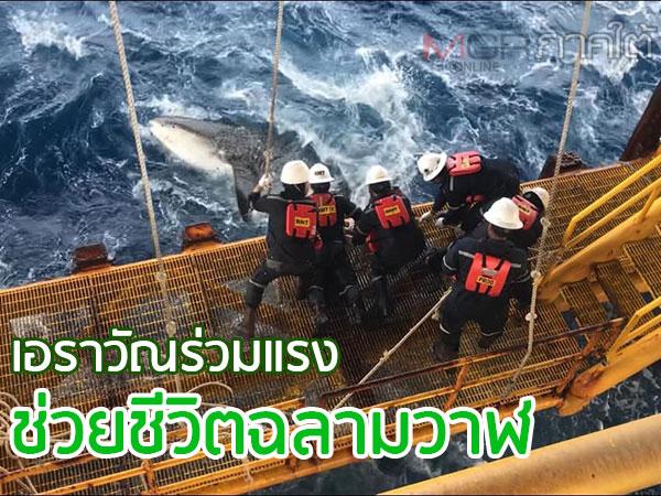 เพื่อนร่วมโลก! พนักงานแท่นขุดเจาะเอราวัณลงมือช่วยชีวิตฉลามวาฬ