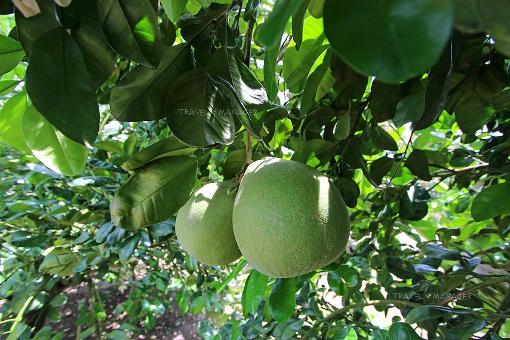 ส้มโอผลงามๆ บนต้น
