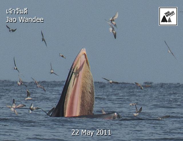 """เผยสมาชิกวาฬบรูด้าในอ่าวไทย ล่าสุดพบ """"วันดี"""" วาฬบรูด้าคู่แม่ลูกหากินชายฝั่งทะเล จ.สมุทรสงคราม"""