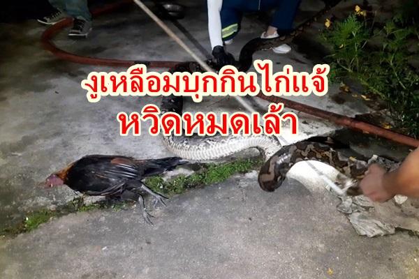 งูเหลือมบุกกินไก่แจ้สวยงามเจ้าของแจ้งเจ้าหน้าที่จับปล่อยป่า