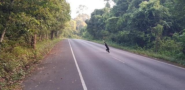 เตือนนักท่องเที่ยว ขับขี่รถอย่างระมัดระวัง เพื่อรักษาชีวิตสัตว์ป่าเขาใหญ่