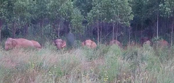 ฉะเชิงเทรา เร่งสร้างเครือข่ายระวังภัยช้างป่าหลังบุกกระทืบแรงงานกัมพูชาดับ 3 ราย