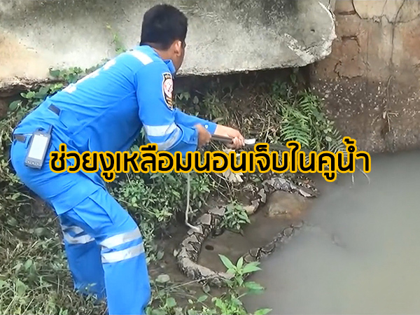 กู้ภัยช่วยงูเหลือมถูกรถเหยียบนอนเจ็บในคูระบายน้ำหน้า รพ.ม.อ.หาดใหญ่