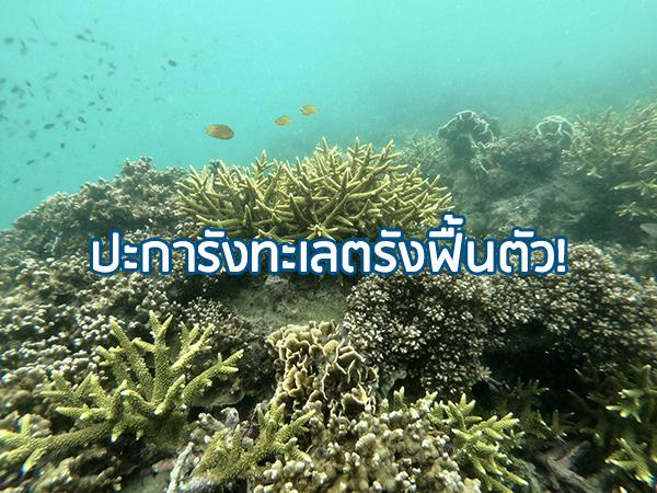 นักดำน้ำสำรวจปะการังเกาะกระดาน จ.ตรัง พบฟื้นตัวจากการฟอกขาวแล้วกว่าครึ่ง