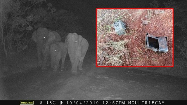 ทำลายหลักฐาน! ช้างป่าเหยียบกล้องดักถ่ายสัตว์ ซ้ำทำลายพืชผลทางการเกษตรเสียหาย