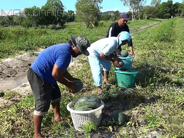 เกษตรกรจะนะรวมกลุ่มปลูกแตงโมปลอดสารพิษส่งขายโรงพยาบาล 7 แห่ง