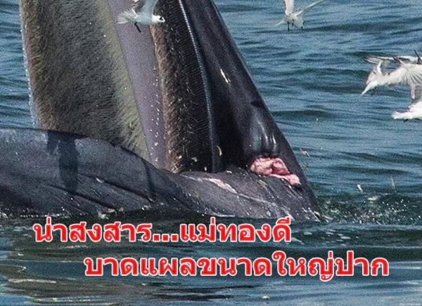 """"""" น่าสงสาร """" พบบาดแผลขนาดใหญ่ที่ขอบปาก!!วาฬแม่ทองดี"""