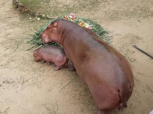 สวนสัตว์ขอนแก่นยิ้มได้สมาชิกใหม่  ชวนคนไทยตั้งชื่อลูกฮิปโปโปเตมัส