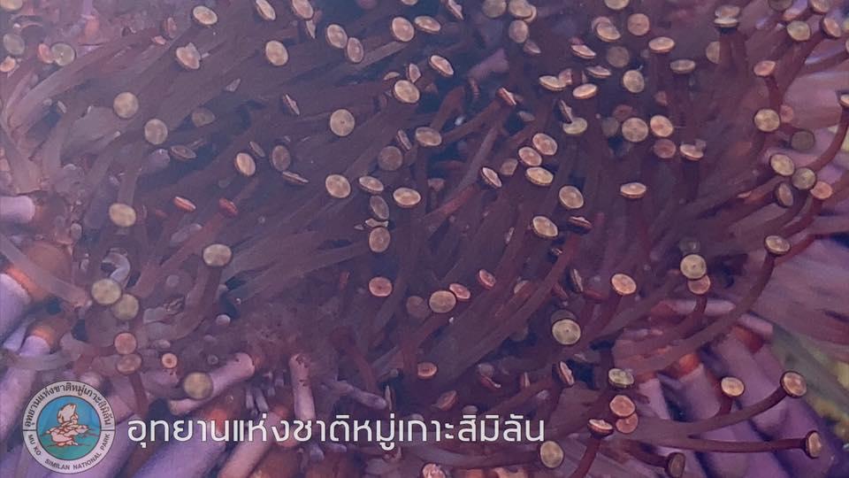 ลักษณะตัวด้านล่างของหอยเม่นหมวกกันน็อค (ภาพ : เพจ อช. หมู่เกาะสิมิลัน)