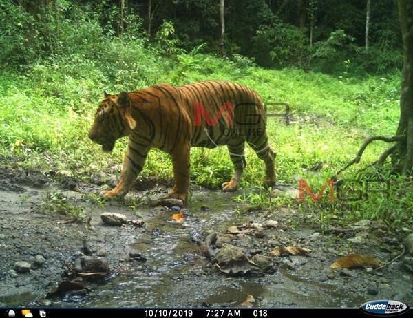 อช.แก่งกระจานเปิดภาพเสือโคร่งขนาดใหญ่ที่พบบริเวณเขตติดต่อ อช.แห่งชาติแก่งกระจาน