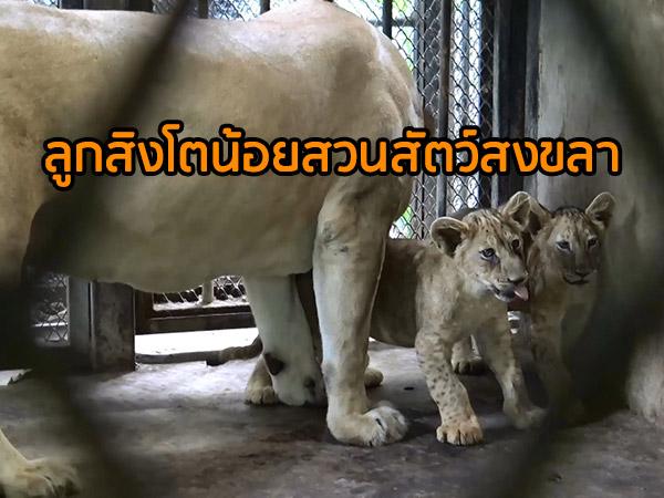 สวนสัตว์สงขลาฝึกลูกสิงโตน้อย 2 ตัว เดินเข้าออกกรงพร้อมแม่ เตรียมเปิดตัวช่วงปีใหม่นี้