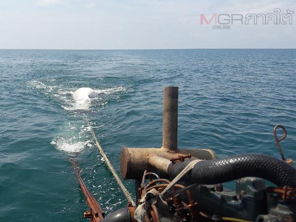 ตะลึง! ชาวบ้านพบฉลามวาฬยักษ์หนักกว่า 2 ตันลอยตายที่เกาะลิบง