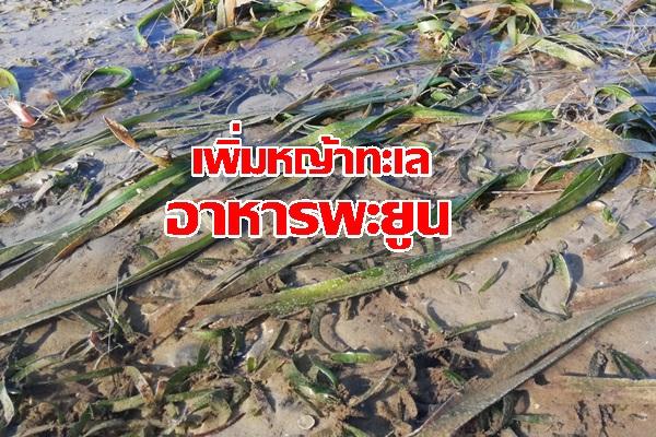ชมรมผู้เลี้ยงกุ้ง จ.กระบี่ เติมความสมบูรณ์แหล่งอาหาร ปลูกหญ้าทะเล ให้พะยูน