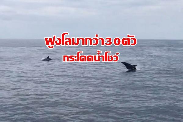 ตื่นตา! ฝูงโลมากว่า 30 ตัว กระโดดเล่นน้ำข้างเรือใกล้แหล่งดำน้ำเรือจมบุญสูง บ่งบอกธรรมชาติอุดมสมบูรณ์