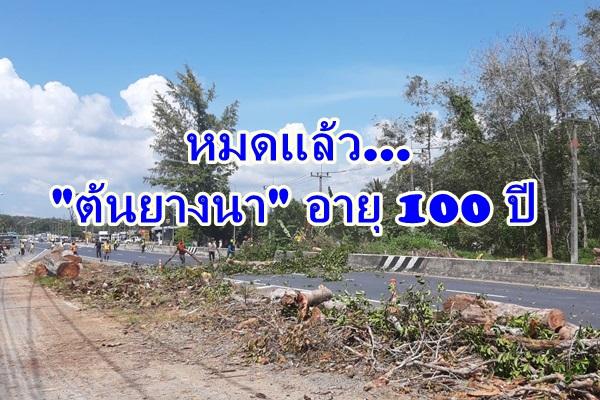 ตัดเกลี้ยงแล้ว ต้นยางนาอายุร้อยปีริมถนนท่านุ่นพังงา ระดัดออกเพื่อความปลอดภัย