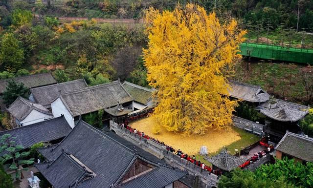 เหนือกาลเวลา! ต้นแปะก๊วยพันปี เหลืองทองอร่ามกลางวัดเจ้าแม่กวนอิม