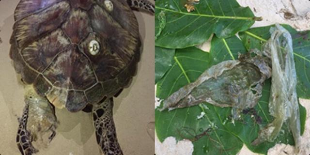 เต่าตนุพะงัน ตายสลดอีกตัว! พบขยะอุดตันอวัยวะภายในหลายส่วน วอนเลิกทิ้งขยะลงทะเล