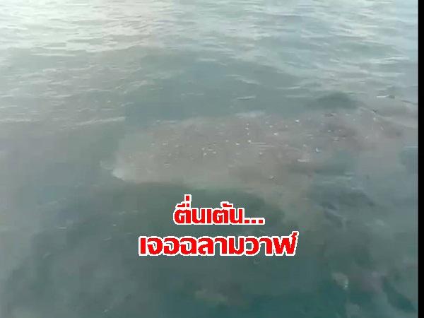 ตื่นเต้นกันทั้งลำเรือ! เมื่อพบฉลามวาฬว่ายน้ำไล่ล่าฝูงปลาใกล้หาดอ่าวนาง กระบี่