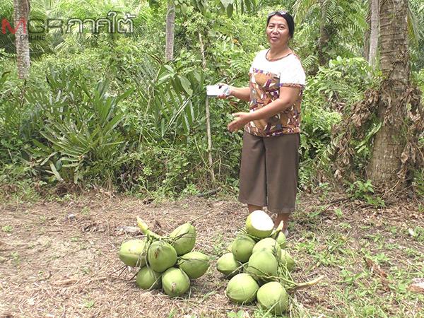 เกษตรกรชาวตรังโค่นปาล์มปลูกมะพร้าวน้ำหอมขายดีจนพ่อค้าแย่งกันซื้อ